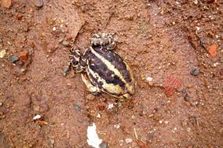 caminho da fe, frog